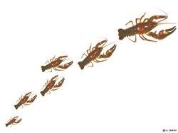 Parade of Crayfish