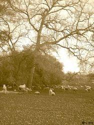 Sheep at Shenandoah II