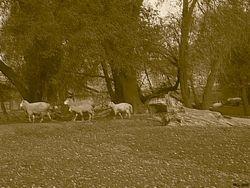 Sheep at Shenandoah
