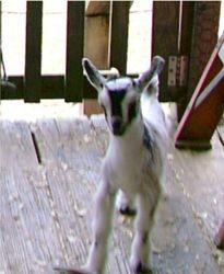 Baby nigerian romping on the porch kid nursery