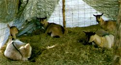 """Does in the old """"tent barn"""""""