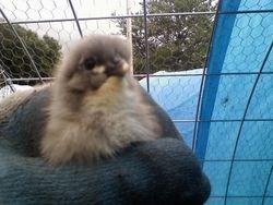 Buckeye/Jersey Giant chick