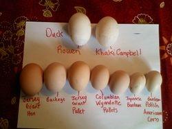 Eggs at the Fat Ewe Farm