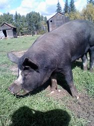Tavy the Sow