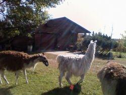 Llama Visit