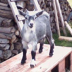 Robin kid goat