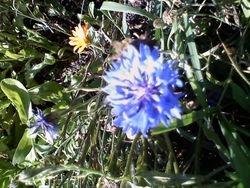 Bachelor's Button (Centaurea)