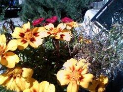 Merry Marigolds