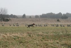 Eazac and the geese (3)