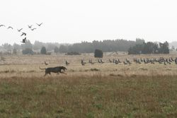Eazac and the geese (15)