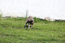 Grey 6 weeks old