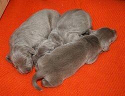 Three puppies 090522