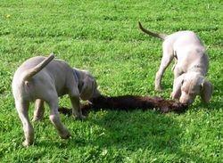 7.5 weeks old Blue (De Niro) and Green (Deputy)