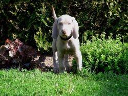 7.5 weeks old Black (Delta)