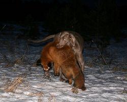 Mini with the fox