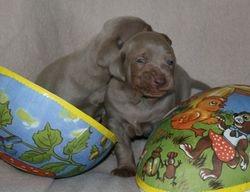 Ba-puppies 3 weeks old