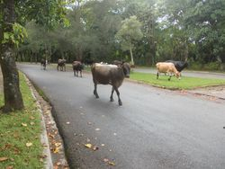 Cows have right of way