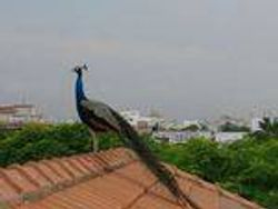 Peacock perched on the roof of the building