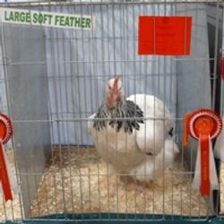 The Large Soft Feather
