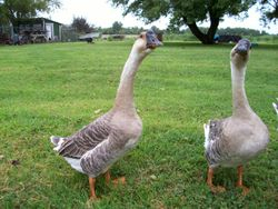 African Gray Geese