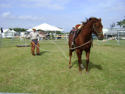 Starting 2 year old recued QH from SPCA
