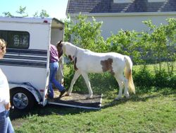 The trailering problem horse follows me at liberty into the trailer with very happy owner standing by.