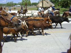 Corriente Cattle Driven For The Ceremonial Event.
