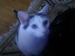 ITTY-BITTY THE GRAND -CAT