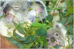 KOALA -MOTHER AND CHILD