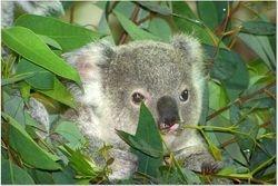 THE BABY KOALA