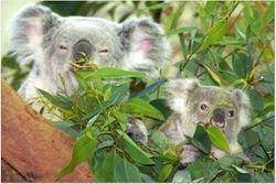 THE KOALA FAMILY