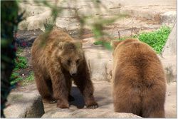 TWO BROWN BEARS