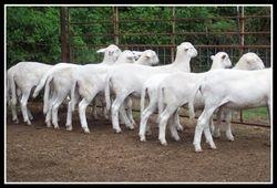 Ram Lambs 2010