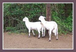 2010 Ram Lambs