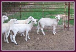 2010 Lamb Ewes
