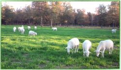 Breeding Ewes