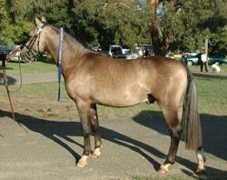 Alvina Royal Espresso Yearling Gunning show
