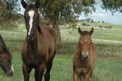 Kirramurray Oaks Jillaroo and Calain
