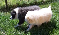 Ned and Chilli 10wks