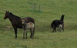 Buckskin fillies by Remmie