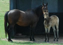Kirramurray Riles Promise and 2012 filly