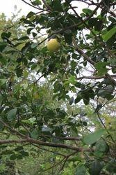 Pomelos at La Casa Verde Panama
