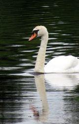 Swan at Innisfree