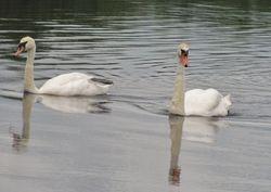 Curious swans near Innisfree