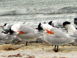 Terns in synch
