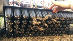 The roots on our hot beds