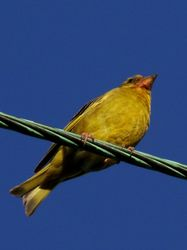 Summer Greenfinch