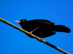 Spring Morning Blackbird