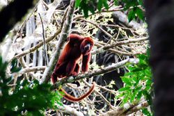 Amazon Jungle - Howler Monkey