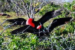 Isla South Plaza - Frigate Birds